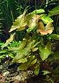 Nymphaea lotus kz02.jpg