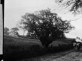 Oak at Llwynrhydowen, where Davis Castellhywel was ordained a minister