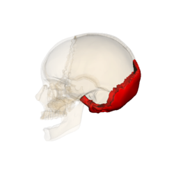 Occipital bone 090 000.png