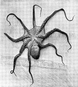 Octopus-onderzijde