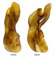 Ocypus olens (O.Mueller, 1764) Genital.png