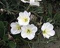 Oenothera deltoides subsp. howellii.jpg