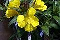 Oenothera fruticosa glauca Fireworks 1zz.jpg