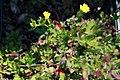 Oenothera perennis 3zz.jpg