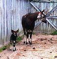 Okapi and calf at White Oak.jpg
