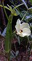 Okra flower and seed pod.jpg