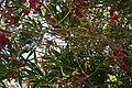 Oleander Bush 9 2013-07-14.jpg