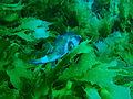 Omegophora armilla Ringed toadfish PC280333.JPG