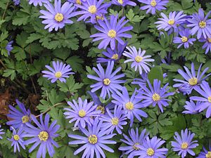 Anemone - Image: Oosterse anemoon (Anemone blanda)