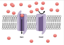 Voltage-gated ion channel - Wikipedia