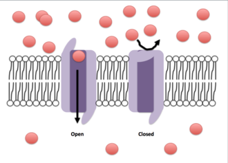 Voltage-gated ion channel - Ions are depicted by the red circles. A gradient is represented by the different concentration of ions on either side of the membrane. The open conformation of the ion channel allows for the translocation of ions across the cell membrane, while the closed conformation does not.