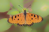 Open wing position of Acraea terpsicore Linnaeus, 1758 – Tawny Coster.jpg