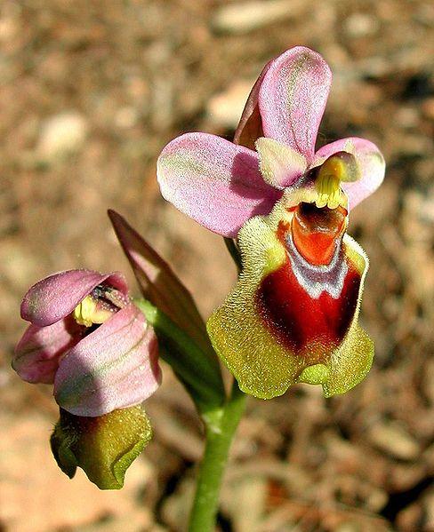 File:Ophrys tenthredinifera Mallorca 03.jpg