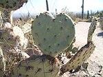 Opuntia Cactus Heart.JPG