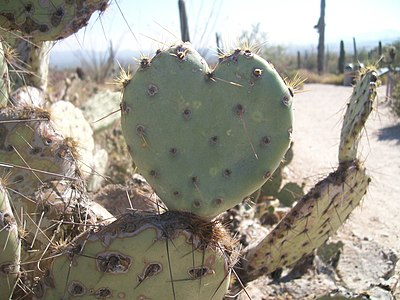 A picture of a heart-shaped prickly pear cactus, demonstrating the imperfect beauty of nature.