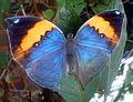 Orange Oakleaf. Kallima inachus - Flickr - gailhampshire.jpg