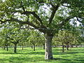 Orchard on the North Downs way - geograph.org.uk - 48149.jpg