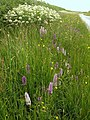 Orchids on verge, Round Ash Moor - geograph.org.uk - 852826.jpg