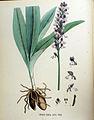 Orchis fusca — Flora Batava — Volume v18.jpg