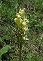 Orchis provincialis kz07.jpg