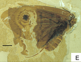 A fossil of a butterfly-like insect. Stripes and eye-spot markings are preserved on its wings.