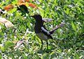Oriental Magpie-Robin. (13951061820).jpg