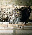 Oriental Scops Owl Otus sunia, Suklaphanta, Nepal.jpg