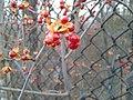 Oriental bittersweet winter 6.jpg