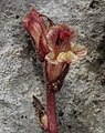 Orobanche alba inflorescence (48).jpg