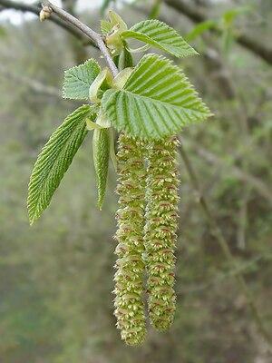 Catkin - Image: Ostrya carpinifolia in Italy male catkins