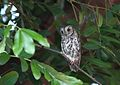 Otus senegalensis (Strigidae) (African Scops Owl) - (adult), Kruger National Park, South Africa - 2.jpg