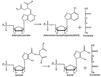 Adenylosuccinate lyase - Image: Overall reactions catalyzed by adenylosuccinate