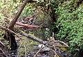 Overgrown brook (3) - geograph.org.uk - 1276925.jpg