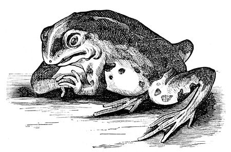PSM V01 D365 Frog with mutilated pons varolii.jpg
