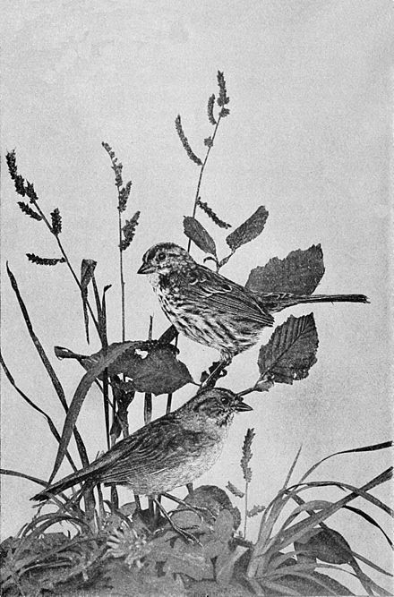 PSM V47 D685 Song sparrow.jpg