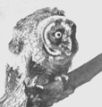 PSM V53 D465 Long eared owl.png