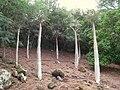Pachypodium geayi - Koko Crater Botanical Garden - IMG 2271.JPG