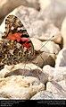 Painted Lady (Nymphalidae, Vanessa cardui) (30520341653).jpg