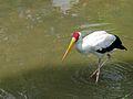 Painted Stork Mycteria leucocephala (7116059415).jpg