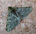 Pale Brindled Beauty. Phigalia pilosaria. Geometridae. Ennominae - Flickr - gailhampshire.jpg