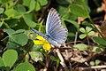 Pale Grass Blue (Pseudozizeeria maha) (15522494865).jpg