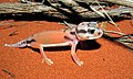 Pale Knob-tailed Gecko (Nephrurus laevissimus) (8656883171).jpg
