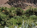 Palmera Canaria.jpg