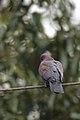 Paloma Morada, Red Billed Pigeon, Patagioenas flavirostris (11916362796).jpg