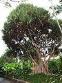 Pandanus (Brisbane Botanic Gardens, Mount Coot-tha).jpg