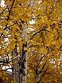 Paper Birch Leaves (5166681247).jpg