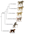 Papio phylogeny (eng).png