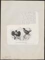 Paradisea sexpennis - 1872 - Print - Iconographia Zoologica - Special Collections University of Amsterdam - UBA01 IZ15700153.tif
