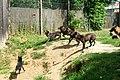 ParcAuxois-CanisLupusOccidentalis-4.jpg