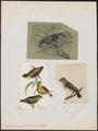 Pardalotus punctatus - 1700-1880 - Print - Iconographia Zoologica - Special Collections University of Amsterdam - UBA01 IZ16600323.tif